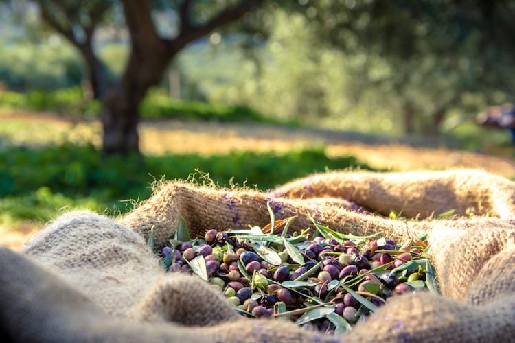 Olivenernte in Griechenland
